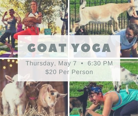 Goat Yoga at The Amp